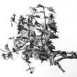 Chardons, 2006 ,encre sur papier, 50 x 60 cm